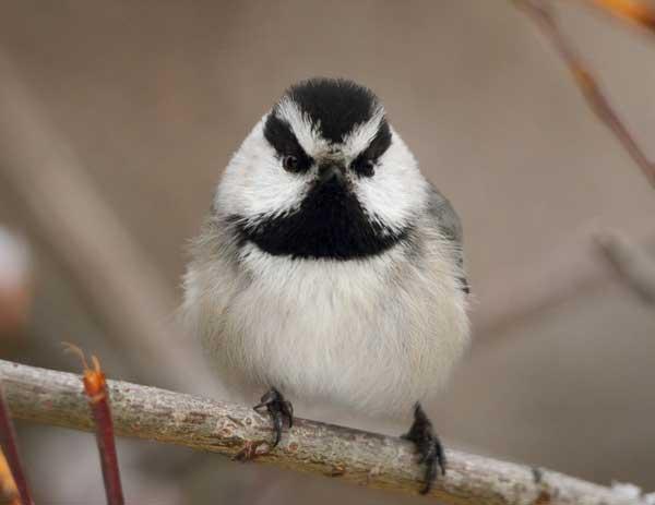 طيور غاضبة