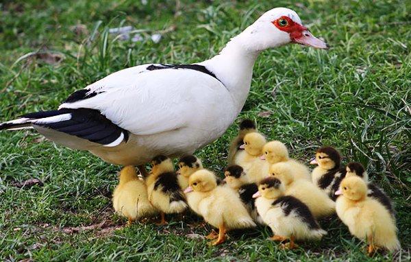 تفشي انفلونزا الطيور في فرنسا وإعدام مئات آلاف البط