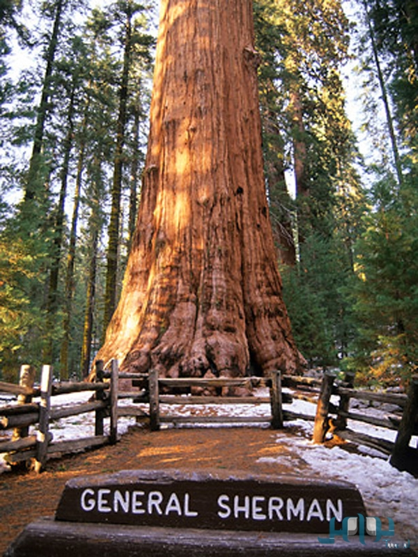 جنرال شيرمان أضخم شجرة معمرة على وجه الأرض 289b5dc13d0100a65b1ecae2dc4c720c