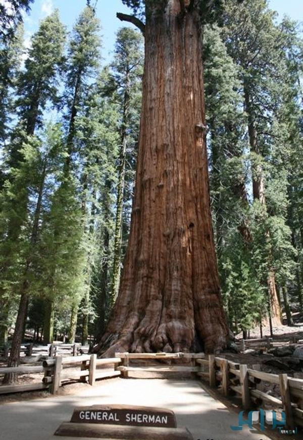 جنرال شيرمان أضخم شجرة معمرة على وجه الأرض 6e293d73e6d09e7e557a8c83da7abb66