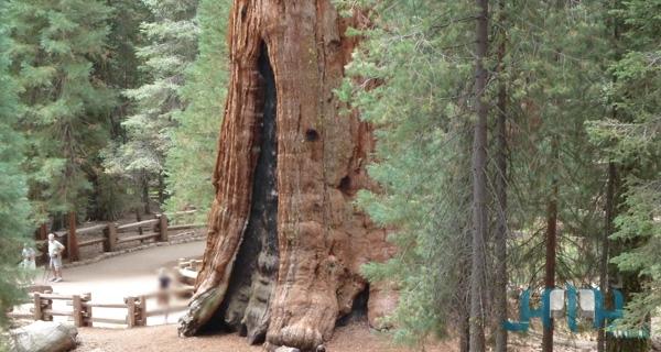 جنرال شيرمان أضخم شجرة معمرة على وجه الأرض 86e4177e7599670de0adc124dfbbed24