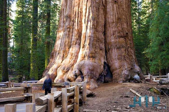 جنرال شيرمان أضخم شجرة معمرة على وجه الأرض C6e683f0619d6372c81aee27dad27a37